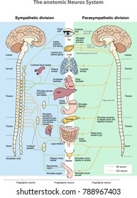 The anotomic Neuros System. Sympathetic division. Parasympathetic division.