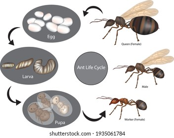 Ant Life Cycle. Stage of development (Larva, Pupa, Egg).