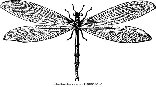 Ant Lion is weak distinguishes them from the dragon fly vintage line drawing or engraving illustration.
