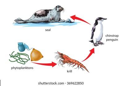 Antarctic food chain example