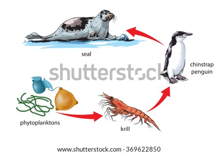 Antarctic Food Chain Example Stock Vector Royalty Free 369622850