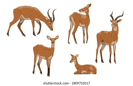 Antelope Cob set. Males with horns and females of Kobus kob thomasi. Mammals of Central Africa. Vector illustration set.