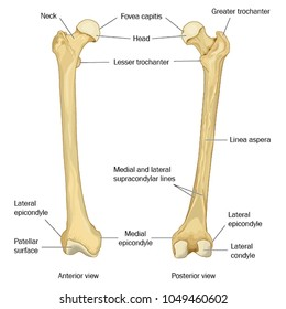 Anterior and posterior views of the human femur (thigh bone)