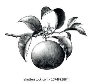 Antique botanical engraving illustration of orange branch with flower black and white clip art isolated on white background