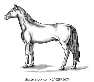 Antique engraving illustration of Horse black and white clip art isolated on white background,Drawing Horse vintage style