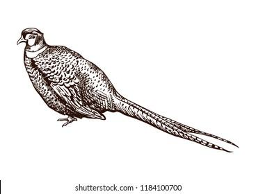 Antique engraving pheasant illustration. Abstract hand drawn bird.