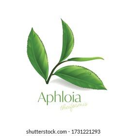 Aphloia Theiformis ,Malagasy tea Moisture Essence Natural Skin Care Cosmetic.
