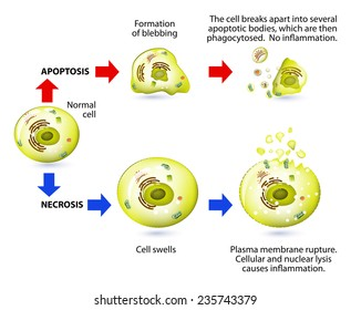 Apoptosis and necrosis is a form of cell death. Structural changes Of cells undergoing necrosis or apoptosis. Schematic Representation Of The Process Apoptosis and necrosis.