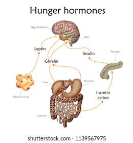 Appetite and hunger hormones vector diagram illustration.