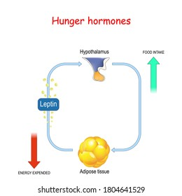 Appetite, leptin hormone and adipose tissue. Leptin the satiety hormone. vector diagram