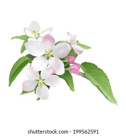 Apple blossom Hand drawn vector illustration of apple blossoms on white background - realistic style.