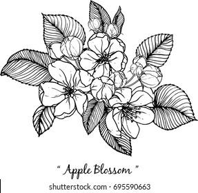 apple blossom illustration on white background.