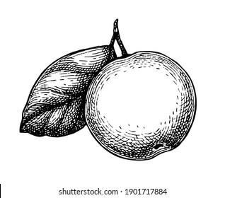 Apple with leaf. Ink sketch isolated on white background. Hand drawn vector illustration. Retro style.