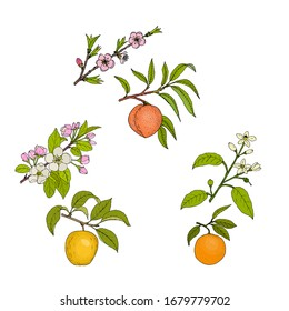 Apple, peach and orange blossom and fruit. Hand drawn botanical vector illustration