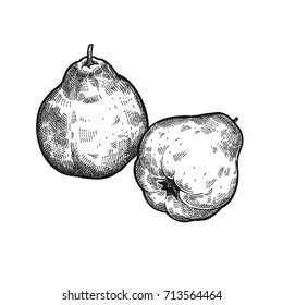 Apple quince. Realistic vector illustration of plant. Fruit isolated on white background. Hand drawing. Decoration for the menu and kitchen design. Vintage black white engraving. Vegetarian food.