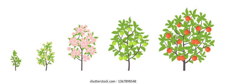 Apple tree growth stages. Vector illustration. Ripening period progression. Fruit tree life cycle animation plant seedling. Apple increase phases.