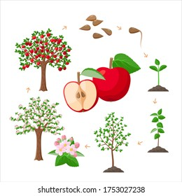 Apple tree life cycle from seeds to ripe red apples, tree growing from the soil infographic. Apple tree growth stages - vector botanical illustrations set for infographic isolated on white background.