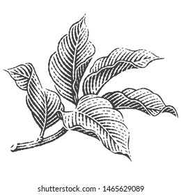 Apple trees branch. Hand drawn engraving style illustrations.