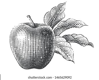 Apple and apple trees branch. Hand drawn engraving style illustrations.
