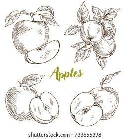 Apples, branch and leaves, hand drawn sketch vector illustration