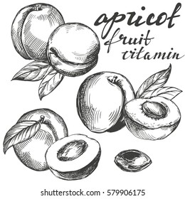 apricot fruit set hand drawn vector illustration sketch
