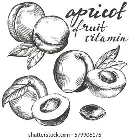 apricot fruit set hand drawn vector illustration sketch