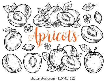 Apricot fruit vector set. Engraved organic food hand drawn sketch engraving illustration. Black white apricot isolated on white background.