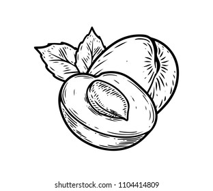 Apricot half fruit vector illustration. Engraved organic food hand drawn sketch engraving illustration. Black white apricot isolated on white background.