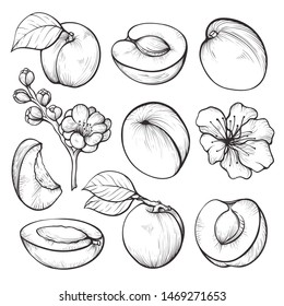 Apricot hand drawn set, summer fruit vitamin. Vegetarian healthy sweet food. Vector apricot sketch illustration on white background