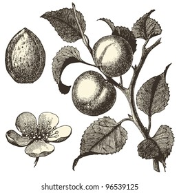 "Apricot tree - vintage engraved illustration - ""Dictionnaire encyclopédique universel illustré"" By Jules Trousset - 1891 Paris"