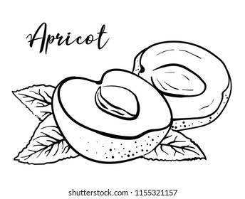 Apricot. Vector black and white illustration of an apricot with a bone and leaves. Ingredient for food, cosmetics, beverages, medicines. Black isolated fruit sketch on a white background