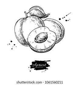 Apricot vector drawing. Hand drawn fruit and sliced pieces.  Summer food engraved style illustration. Detailed vegetarian sketch. Great for label, poster, print, menu