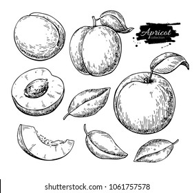 Apricot vector drawing set. Hand drawn fruit and sliced pieces. Summer food engraved style illustration. Detailed vegetarian sketch. Great for label, poster, print, menu