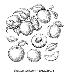 Apricot vector drawing set. Hand drawn fruit, branch and sliced pieces. Summer food engraved style illustration. Detailed vegetarian sketch. Great for label, poster, print, menu
