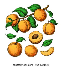 Apricot vector drawing set. Hand drawn fruit, branch and sliced pieces. Summer food illustration. Detailed vegetarian sketch. Great for label, poster, print, menu, packaging design