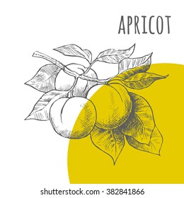 Apricot vector freehand pencil drawn sketch. Illustration of apricots bunch on branch with leaves. Part of set of fruits sketchy drawings.
