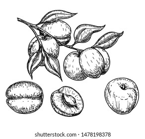 Apricot vector sketch set. Hand drawn fruit and sliced pieces. Summer food engraved style illustration. Detailed vegetarian sketch. Great for label, poster, print, menu