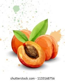 Apricot watercolor Vector. Delicious fruits handmade design template