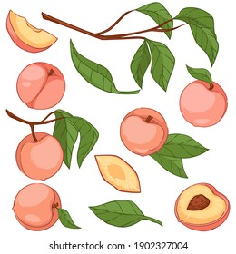 Apricots or peaches on tree branches with leaves, isolated foliage and ripe fruits. Berries harvesting season. Production of natural and organic food and ecological farming. Vector in flat style