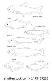 Aquacultural fish (rainbow trout, channel catfish, milkfish, sterlet, milkfish). Set of outline vector images.