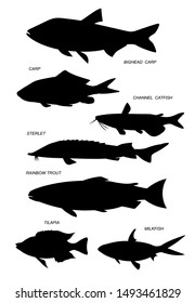 Aquacultural fish (rainbow trout, channel catfish, milkfish, sterlet, milkfish). Set of outline vector silhouette images.