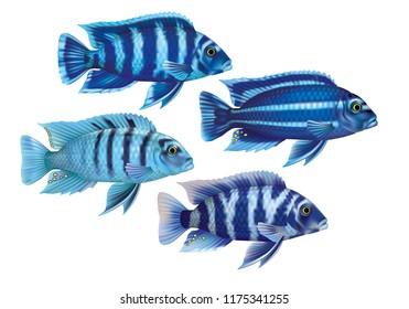 Aquarium fish cichlids blue