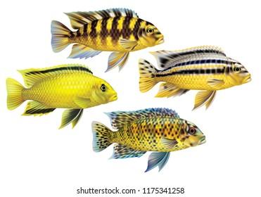 Aquarium fish yellow cichlids
