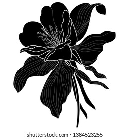 Aquilegia, columbine flower illustration in botanical style. Stock vector illustration.dry large royal Aquilegia vector black and white Columbine flower