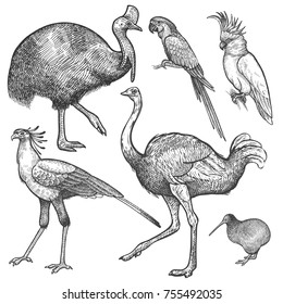 Ara parrot; ostrich Emu, cassowary, cockatoo, bird kiwi and secretary isolated on white background set. Vintage engraving style. Vector illustration art. Object of nature naturalistic sketch.