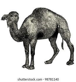 """Arabian camel - vintage engraved illustration - """"Dictionnaire encyclop�©dique universel illustr�©"""" By Jules Trousset - 1891 Paris"""