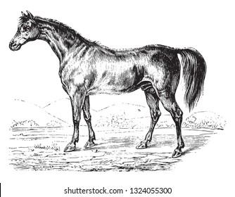 Arabian horse, vintage engraved illustration.