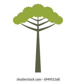 Araucaria isolated tree vector illustration