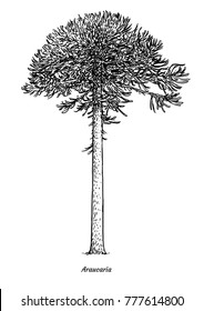 Araucaria tree illustration, drawing, engraving, ink, line art, vector