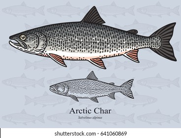 Arctic char. Vector illustration with refined details and optimized stroke that allows the image to be used in small sizes (in packaging design, decoration, educational graphics, etc.)